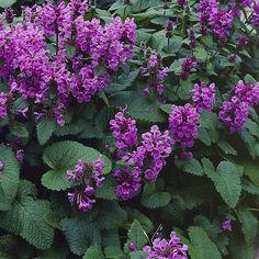 Fall Season, Perennials, Lilac, Seasons, Flowers, Spring, Outdoor, Color, Terrace Ideas
