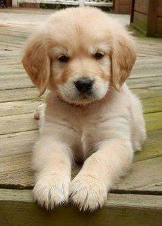 Golden puppy Soooooooo cute I know this sounds really wrong but I want to eat that puppy up he is so cute Mais #goldenretrieverpuppy