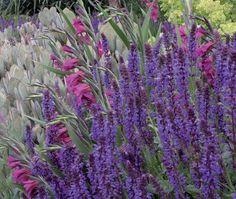 Salvia nemorosa wesuwe - metssalvei