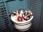 This sugar glider care sheet will help you with everything you need to know: lifespan, cage size, toys, diet, safe fruits and vegetables, an...