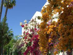 Buganbillas en Carthago (Carthago, Tunisia)