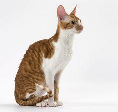 Devon Rex Cats, Cornish Rex Cat, Cat Anatomy, Cat Reference, Sphynx, Cats And Kittens, Cute Cats, Dog Cat, Cute Animals