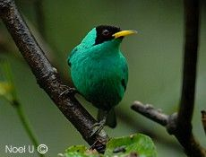 Green Honeycreeper (Chlorophanes spiza)-  Photographed in San Isidro de El General