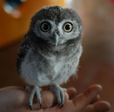 15 Ridiculously Adorable Baby Owls