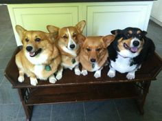2 is company, 4 is a crowd-ed bench - Corgis