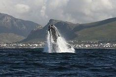 Kleinmond is part of the Cape's whale route - town on the horison/ Provinces Of South Africa, Gumtree South Africa, Buy And Sell Cars, Holiday Accommodation, Cape Town, African, Whales, Cry, Catering