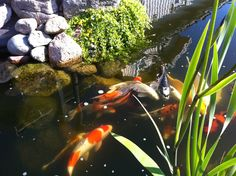 My pond and my dear Koi karps. Unique Gardens, Koi, Favorite Things, Yard, Craft Ideas, Gardening, Reading, Books, Pictures