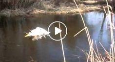 2 Cisnes Presos Um No Outro Aproximam-Se De Humanos Para Pedir Ajuda