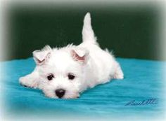 Westie puppyyy.. What Frasier used to look like when he was a babyyy