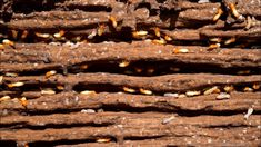 Termites on wood – Animal Life Termite Damage, Termite Control, Pest Control, Wood Tags, Human Eye, House In The Woods, See Picture, Easy, Crawl Spaces