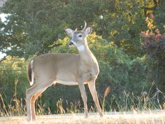 The deer in the sun....another view