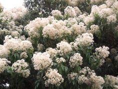 Nuxia Floribunda in bloom        Forest Nuxia      Bosvlier      S A no 634