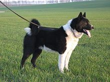 Karelian Bear Dogs are hunters and not even bears scare them.