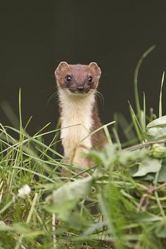 Stoat (Mustela erminea) | by phil winter