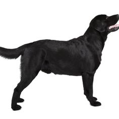 The Labrador retriever consistently tops the American Kennel Club's annual registrations.