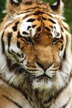 Siberian Tiger by Oscar von Bonsdorff