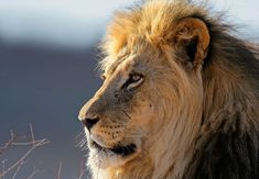 Lion {Panthera leo} - Information about the Lion, including photographs, fast facts, conservation status and general info. Lions are the second ... South Africa Wildlife, Visit South Africa, Prey Animals, Wild Animals, Lions Live, Elephant Park, African Buffalo, Female Lion, Cat Species