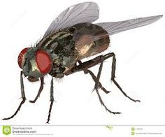 Image result for how to draw a housefly