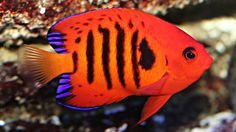 Flame Angel | The Most Beautiful Fish In The World