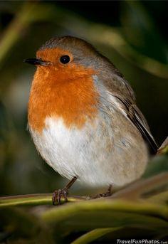 Sweet Little Robin in Kew Gardens - London, England