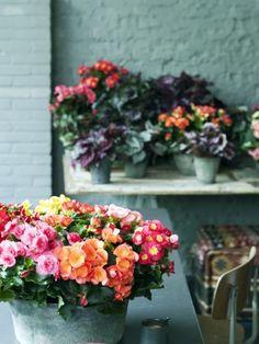 Die Begonie ist die Zimmerpflanze des Monats Oktober - Pflanzenfreude.de