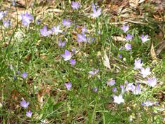 Wahlenbergia communis - edible flowers.  Bushfoods Info | Sustainable Gardening Australia