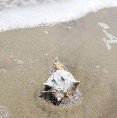 Dowitchers feeding as seen through my spotting scope. Sundial, Sea Creatures, Sea Glass, Beach, Instagram, The Beach, Beaches