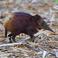 weird animals Golden-rumped Elephant Shrew A weird little creature from Kenya. Check out our Kenya tours on our website, linked on our home page. Amazing Animals, Unusual Animals, Animals Beautiful, Strange Animals, Animals And Pets, Baby Animals, Funny Animals, Cute Animals, Small Animals
