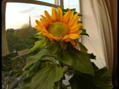 Time Lapse growth of a Sunflower - homeschool video