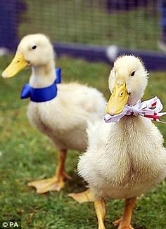 Dressed for the occasion: Even the village ducks were celebrating the event, when Kate married William even the ducks wore their sunday best!