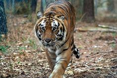 Max Tiger | Carolina Tiger Rescue Flora And Fauna, Big Cats, Cute Animals, Africa, Tigers, Pretty Animals, Cutest Animals, Cute Funny Animals, Adorable Animals