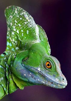 Green Basilisk Lizard- don't look it in the eye!!!  u will be.....PETRIFIED!