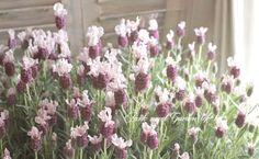 ラベンダー・ラッフルズ 『ボイセンベリー』 | すべての商品 | | Junk sweet Garden tef*tef* ガーデニング雑貨・花苗