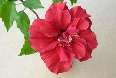 Hibiskus-Topfpflanzen