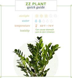 ZZ Plant Care Guide: Wachsende Informationen und Tipps ZZ Plant Care Guide: Growing information and Zz Plant Care, Snake Plant Care, House Plant Care, Rubber Plant Care, Hardy Plants, Foliage Plants, Plante Zz, Plant Guide, Plant Information