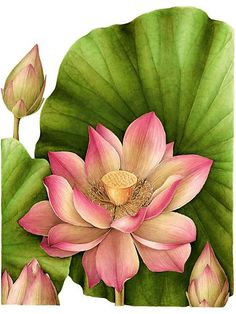 Gilly Shaeffer   American Society of Botanical Artists