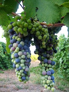 Sonoma County wine grapes