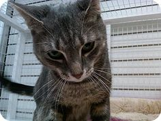 East Meadow, NY - Domestic Shorthair. Meet Lilly a Cat for Adoption.