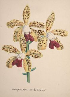 Cattleya guttata. Collection d'orchidées [art original]: aquarelles originales  [S.l. :s.n.,18--?]  Biodiversitylibrary. Biodivlibrary. BHL. Biodiversity Heritage Library