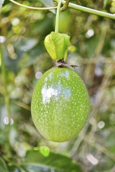 When do you pick passion fruit? Interestingly, the fruit isn& harvested from the vine but is actually ready to eat when it falls off the plant. Fruits ripen at different times of the year in regard to planting zone. Learn more in this article. Growing Passion Fruit, Passion Fruit Plant, Fruit Plants, Fruit Trees, Fruit Flowers, Edible Plants, Fruit Garden, Purple Flowers, Vegetable Garden