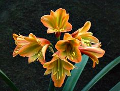 Clivia miniata (Kaffir lily) is native to only South Africa. It has become a popular houseplant worldwide, however, and there are now hundreds of strikingly different looking cultivars. Cultivar Browneyed Girl