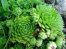 Молодило в саду - выращивание и уход