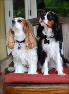 Indy and Cleo: Welcome Humphrey Bogart! Cute Baby Dogs, Cute Puppies, Dogs And Puppies, Doggies, Cavalier King Charles, King Charles Spaniel, Super Cute Animals, Adorable Animals, Cavalier Rescue