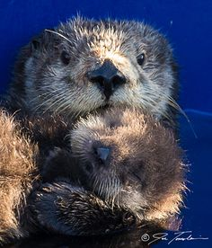 New measurements show resting metabolic rate of a female sea otter increases by over 50 percent when she is nursing a pup.