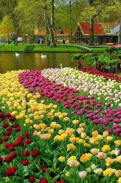 Tulip and Swan. more with healing sounds: Most Beautiful Gardens, Beautiful Flowers Garden, Amazing Gardens, Beautiful World, Beautiful Places, Parcs, Nature Pictures, Amazing Nature, Beautiful Landscapes