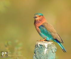 Indian Roller by pradipjanwade http://ift.tt/1SqGYiy