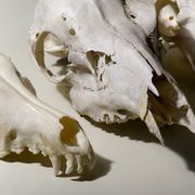 There are several reasons to preserve animal skulls. When found in nature, a skull can be seen as something beautiful and can be made into a piece of art. A preserved skull can show off success and skill during a hunt. Skulls can also be used as teaching and educational tools--ways to show animal biology, evolution and habits in an up close and...