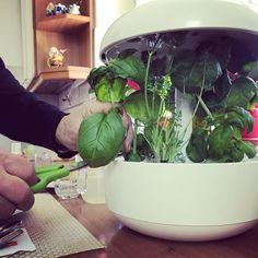 @orto_walter Buon pranzo! Questo rigoglioso #basilico sarà il tocco finale per i #fusilli al #ragù, uno dei miei piatti preferiti.  #orto #indoorplants #basil #smartgarden #plantui #erbearomatiche #herbs #pasta #italianlunch #cucinaitaliana Fusilli