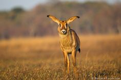 Young roan antelope photographed in the Busanga Plains, Zambia. | Photo by Will Burrard-Lucas at http://www.burrard-lucas.com/