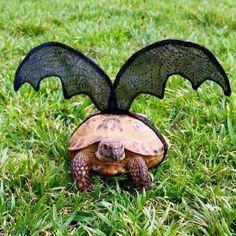 Pet Tortoise Costume Bat Costume Pet Costume by DeerwoodCreekGifts Sulcata Tortoise, Tortoise Care, Baby Tortoise, Russian Tortoise, Bat Costume, Pet Turtle, Baby Turtles, Eat Fruit, Tortoises